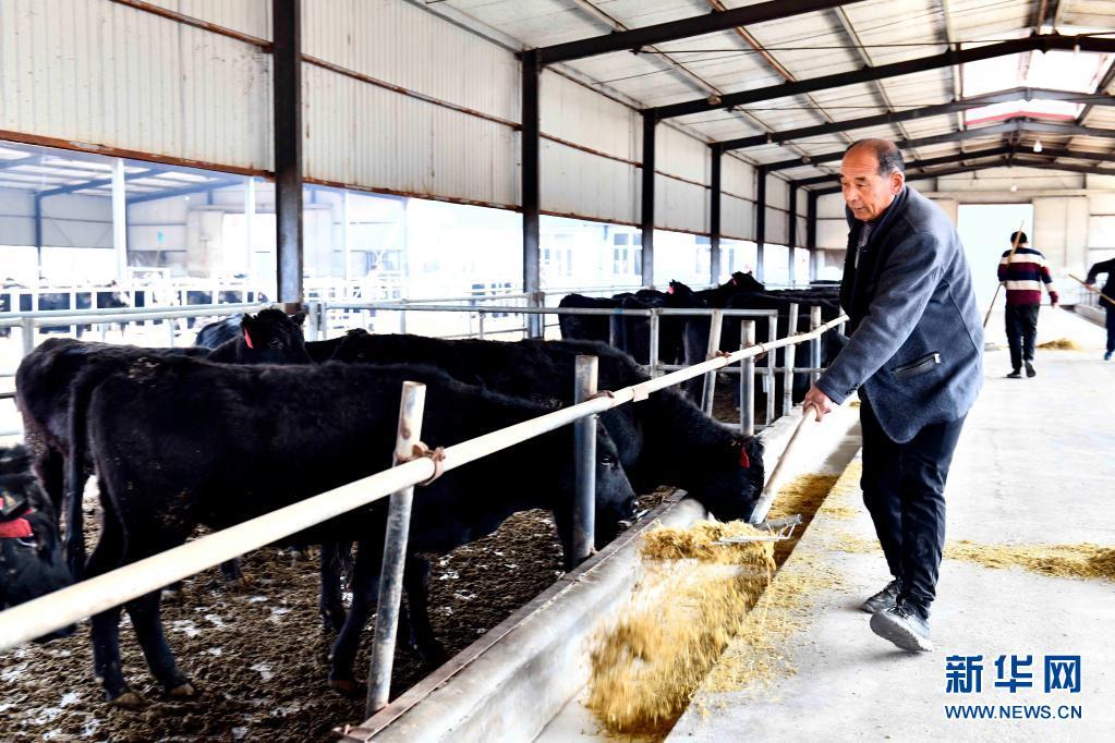 山东内蒙古协作育黑牛