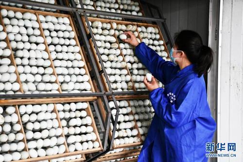 贵州三穗鸭:富民产业助增收