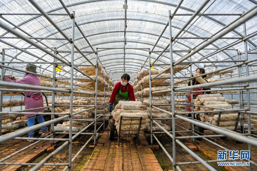 呼和浩特:种植蘑菇 助农增收