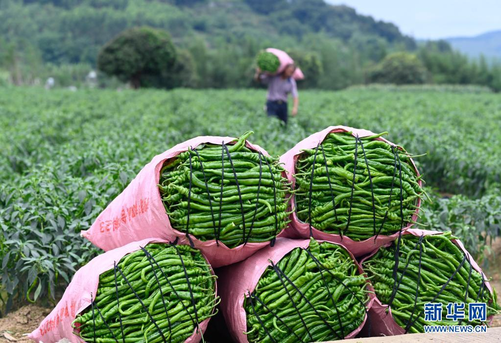 广西柳州:辣椒丰收